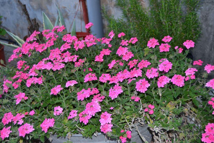 Flores del convento de Daimiel