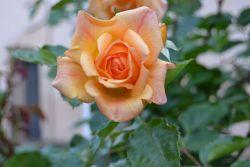 Rosa- Convento Mínimas de Daimiel