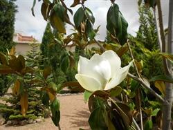 Magnolia -huerta de Mínimas-Daimiel
