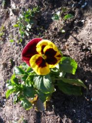 Flor-Huerta de Daimiel